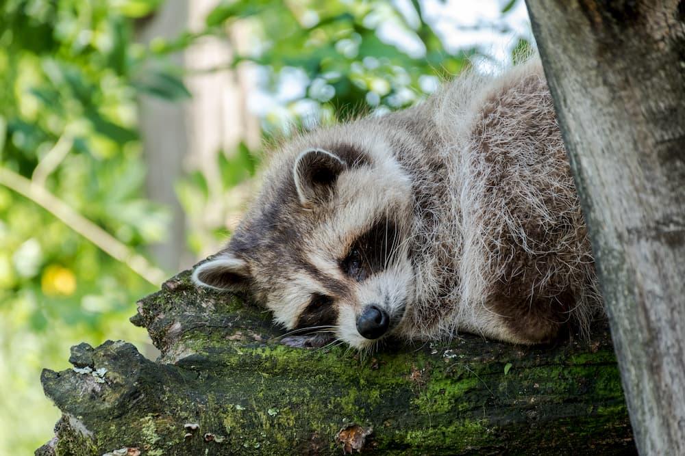 Imagen de un mapache descansando en un árbol de un parque.