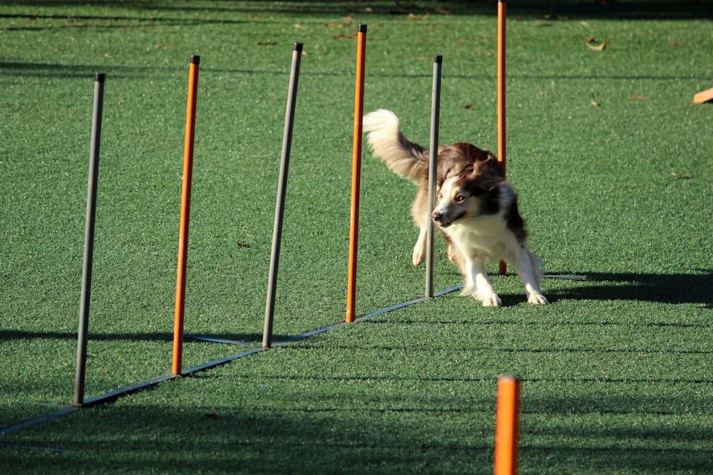 Imagen de un perro sorteando obstáculos en un concurso de agility